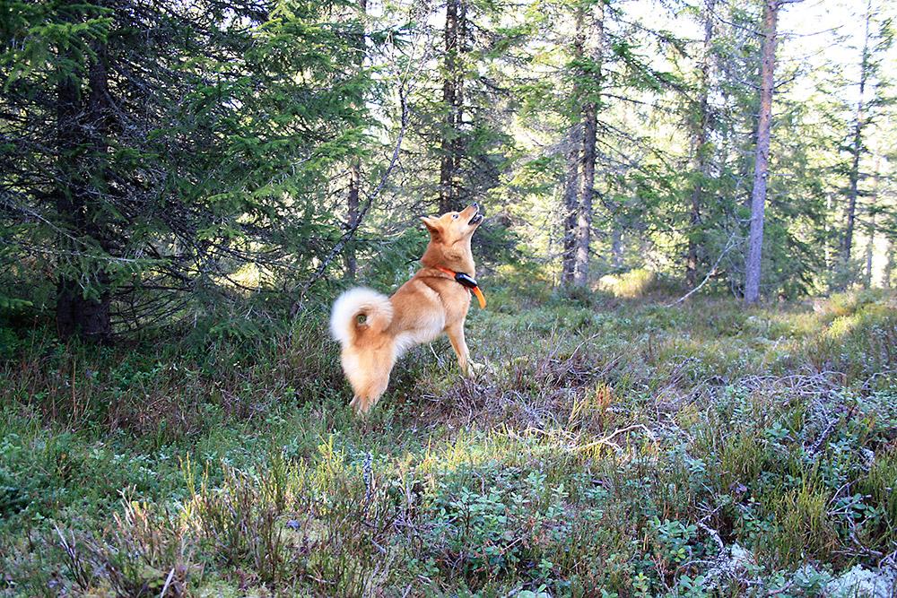 Skogsfugljakt med hund