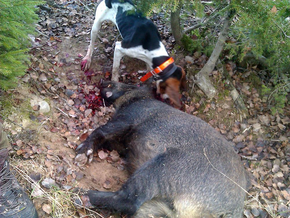 Villsvin og hund