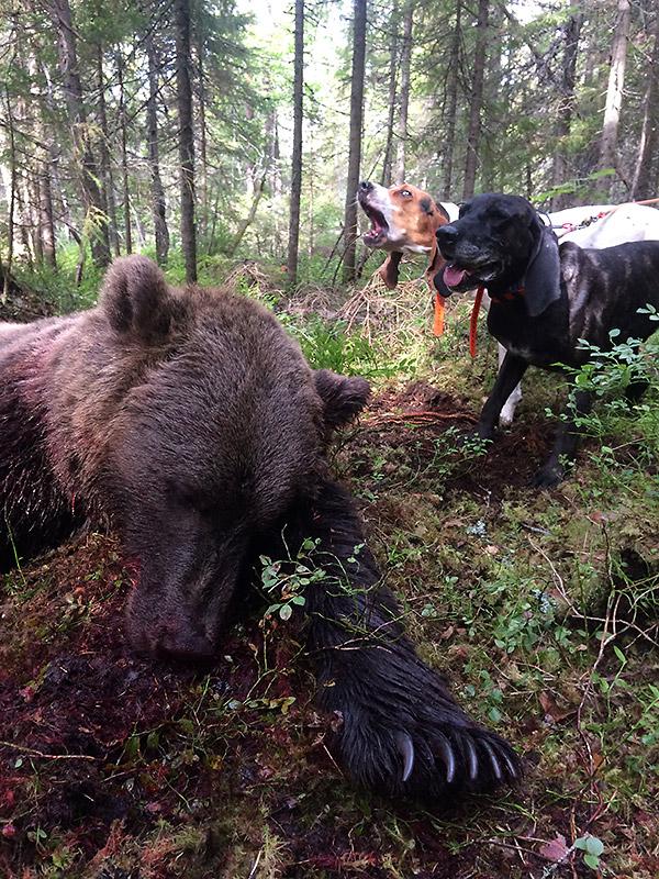 Jakt på brunbjørn med hund