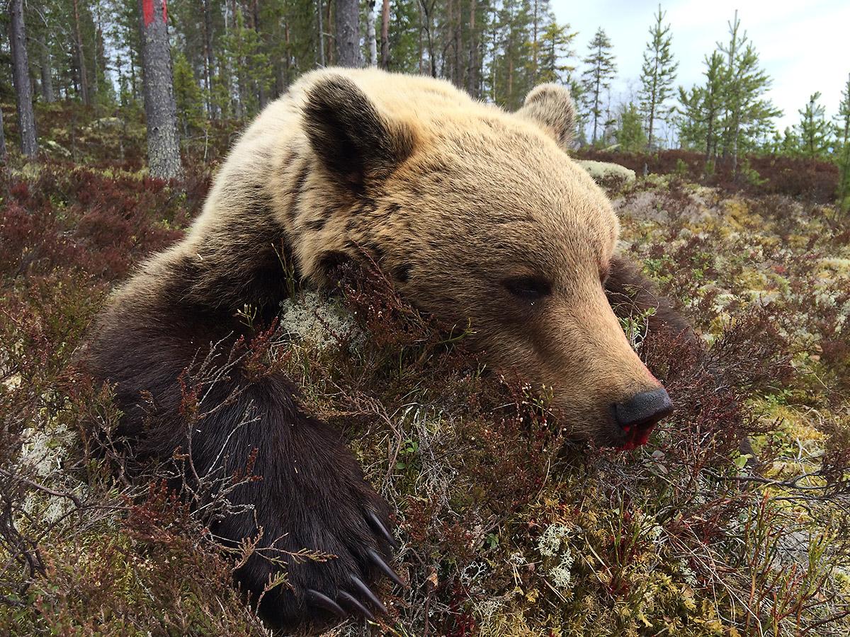 Jakt på brunbjørn