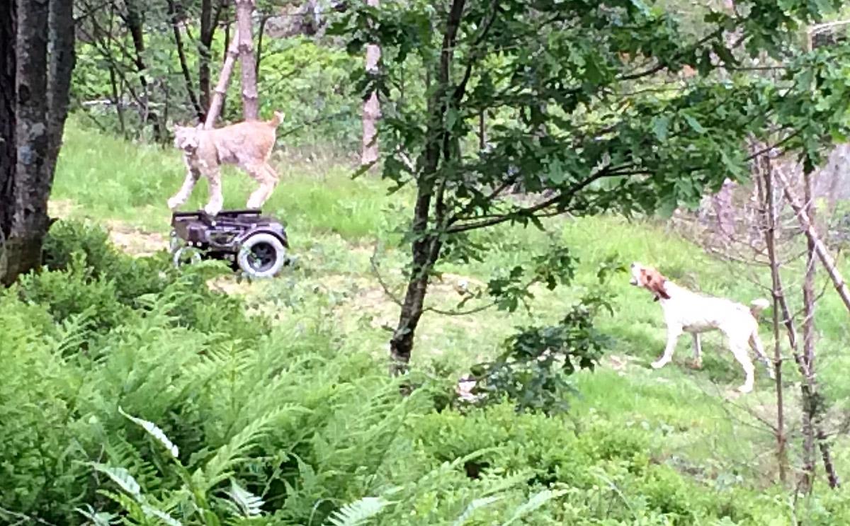 Permogaupe og hund