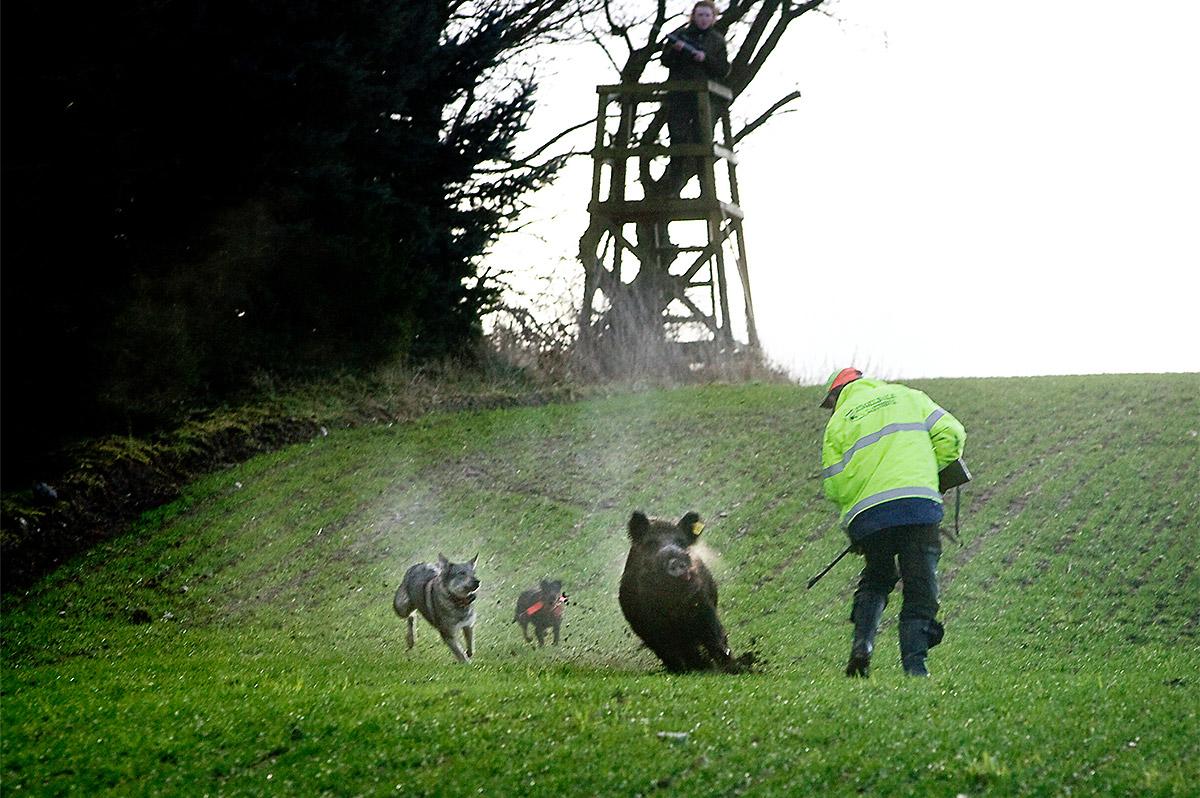 Villsvinjakt med hund